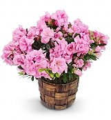 Plants: Blossoming Pink Azalea