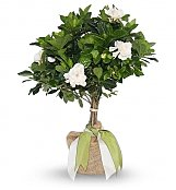 Plants: Fragrant Gardenia